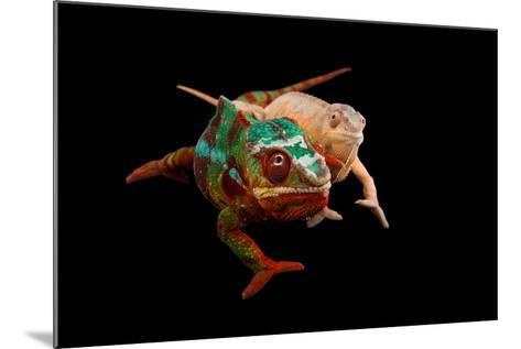 Male and Female Ambilobe Locality Panther Chameleons, Furcifer Pardalis.-Joel Sartore-Mounted Photographic Print