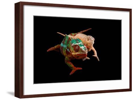 Male and Female Ambilobe Locality Panther Chameleons, Furcifer Pardalis.-Joel Sartore-Framed Art Print