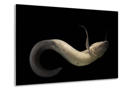 An African Lungfish, Protopterus Annectens, at the Oklahoma City Zoo.-Joel Sartore-Metal Print