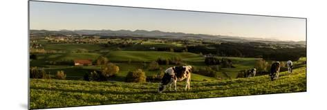 Cows in Front of the Alpine Upland Near ArgenbŸhl, Baden-WŸrttemberg-Markus Leser-Mounted Photographic Print