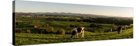 Cows in Front of the Alpine Upland Near ArgenbŸhl, Baden-WŸrttemberg-Markus Leser-Stretched Canvas Print