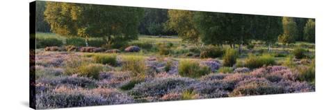 Germany, North Rhine-Westphalia, Wahner Heide, Heath Blossom in the Evening Light, Broom Heather-Andreas Keil-Stretched Canvas Print