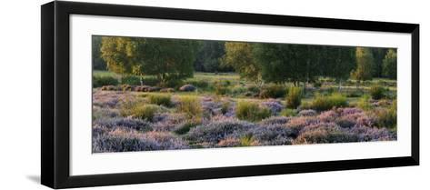 Germany, North Rhine-Westphalia, Wahner Heide, Heath Blossom in the Evening Light, Broom Heather-Andreas Keil-Framed Art Print