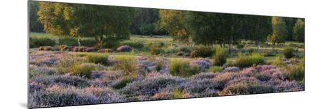 Germany, North Rhine-Westphalia, Wahner Heide, Heath Blossom in the Evening Light, Broom Heather-Andreas Keil-Mounted Photographic Print