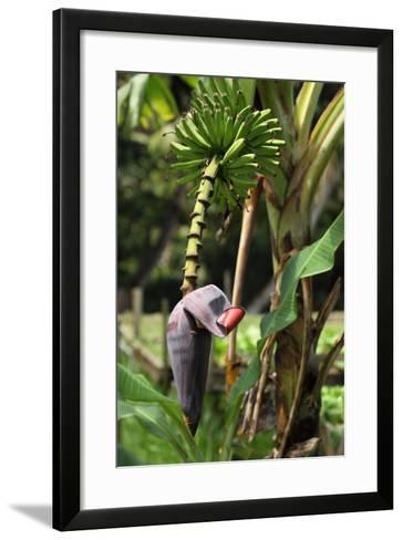 The Seychelles, La Digue, Banana Plant-Catharina Lux-Framed Art Print