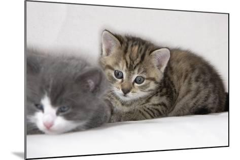 Couch, Cats, Young, Lying, Snuggles Up, Sleepily, Dozes, Together, Animals, Mammals-Nikky-Mounted Photographic Print
