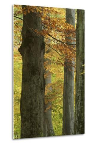 Copper Beeches, Fagus Sylvatica, Autumn, Germany, Hessen, Reinhardswald, Primeval Forest Sababurg-Andreas Keil-Metal Print