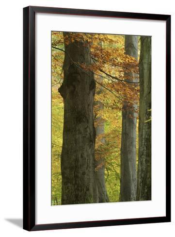 Copper Beeches, Fagus Sylvatica, Autumn, Germany, Hessen, Reinhardswald, Primeval Forest Sababurg-Andreas Keil-Framed Art Print