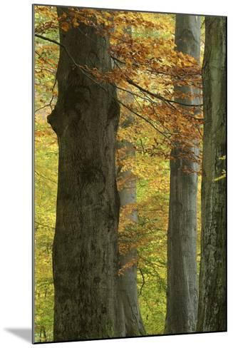 Copper Beeches, Fagus Sylvatica, Autumn, Germany, Hessen, Reinhardswald, Primeval Forest Sababurg-Andreas Keil-Mounted Photographic Print