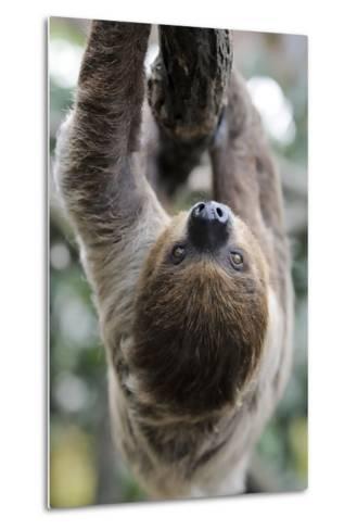 2 Finger Sloth, Choloepus Didactylus, Branch, Hang, Climb Headlong-Ronald Wittek-Metal Print