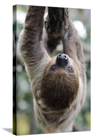 2 Finger Sloth, Choloepus Didactylus, Branch, Hang, Climb Headlong-Ronald Wittek-Stretched Canvas Print