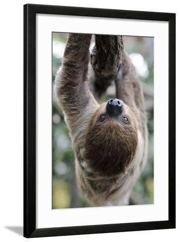 2 Finger Sloth, Choloepus Didactylus, Branch, Hang, Climb Headlong-Ronald Wittek-Framed Art Print