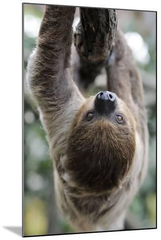 2 Finger Sloth, Choloepus Didactylus, Branch, Hang, Climb Headlong-Ronald Wittek-Mounted Photographic Print
