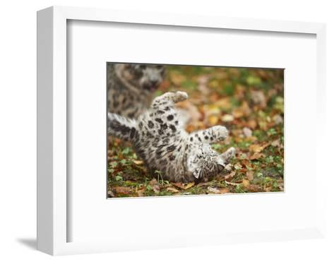 Snow Leopard, Uncia Uncia, Young Animal, Falling, Foliage-David & Micha Sheldon-Framed Art Print