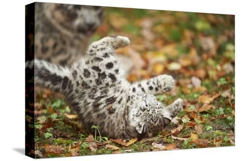 Snow Leopard, Uncia Uncia, Young Animal, Falling, Foliage-David & Micha Sheldon-Stretched Canvas Print
