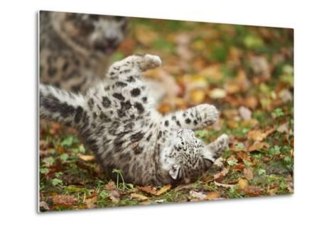 Snow Leopard, Uncia Uncia, Young Animal, Falling, Foliage-David & Micha Sheldon-Metal Print