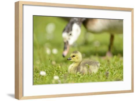 Canada Goose, Branta Canadensis, Fledglings, Meadow, Side View, Lying-David & Micha Sheldon-Framed Art Print