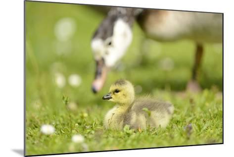 Canada Goose, Branta Canadensis, Fledglings, Meadow, Side View, Lying-David & Micha Sheldon-Mounted Photographic Print