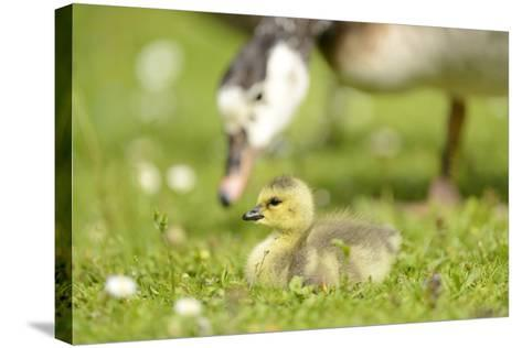 Canada Goose, Branta Canadensis, Fledglings, Meadow, Side View, Lying-David & Micha Sheldon-Stretched Canvas Print