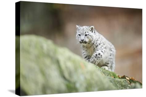 Snow Leopard, Uncia Uncia, Young Animal, Rock, Walking, Frontal-David & Micha Sheldon-Stretched Canvas Print