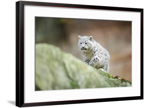 Snow Leopard, Uncia Uncia, Young Animal, Rock, Walking, Frontal-David & Micha Sheldon-Framed Art Print