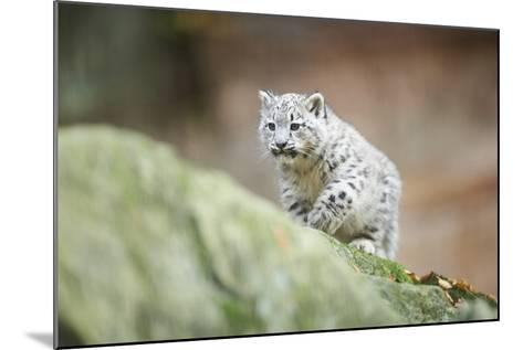 Snow Leopard, Uncia Uncia, Young Animal, Rock, Walking, Frontal-David & Micha Sheldon-Mounted Photographic Print