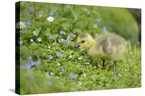 Canada Goose, Branta Canadensis, Fledglings, Meadow, Side View, Standing-David & Micha Sheldon-Stretched Canvas Print