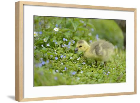 Canada Goose, Branta Canadensis, Fledglings, Meadow, Side View, Standing-David & Micha Sheldon-Framed Art Print