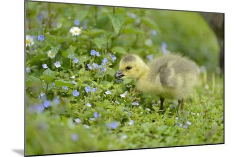 Canada Goose, Branta Canadensis, Fledglings, Meadow, Side View, Standing-David & Micha Sheldon-Mounted Photographic Print
