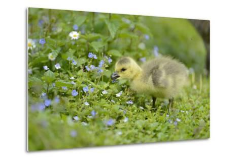 Canada Goose, Branta Canadensis, Fledglings, Meadow, Side View, Standing-David & Micha Sheldon-Metal Print