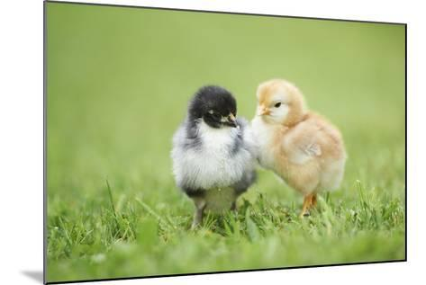 Chicken, Gallus Gallus Domesticus, Chicks, Meadow, at the Side, Is Standing-David & Micha Sheldon-Mounted Photographic Print