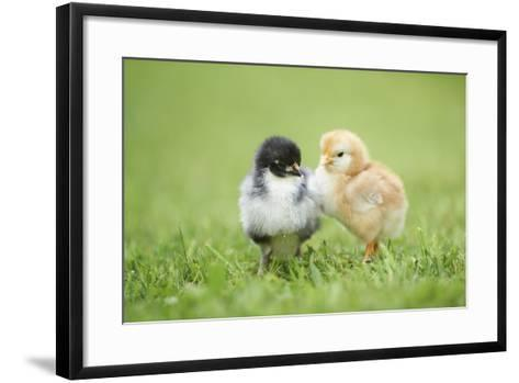 Chicken, Gallus Gallus Domesticus, Chicks, Meadow, at the Side, Is Standing-David & Micha Sheldon-Framed Art Print