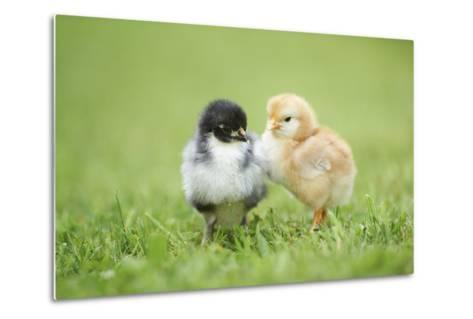 Chicken, Gallus Gallus Domesticus, Chicks, Meadow, at the Side, Is Standing-David & Micha Sheldon-Metal Print