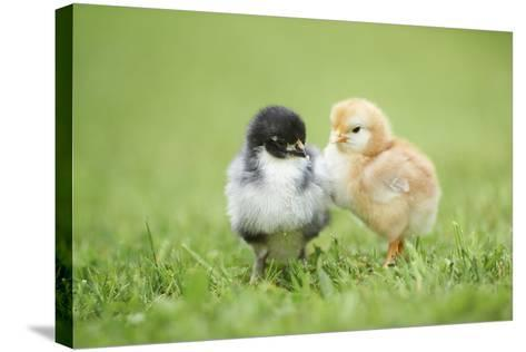 Chicken, Gallus Gallus Domesticus, Chicks, Meadow, at the Side, Is Standing-David & Micha Sheldon-Stretched Canvas Print