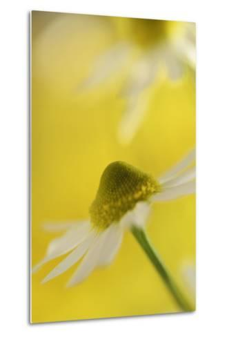 Camomile, Matricaria Chamomilla, Blossom, Close-Up-Andreas Keil-Metal Print