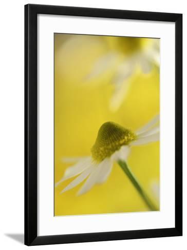 Camomile, Matricaria Chamomilla, Blossom, Close-Up-Andreas Keil-Framed Art Print