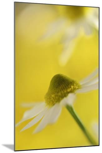 Camomile, Matricaria Chamomilla, Blossom, Close-Up-Andreas Keil-Mounted Photographic Print