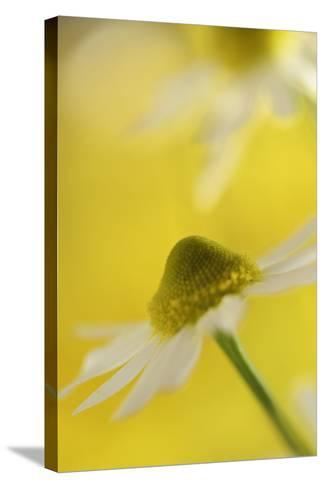 Camomile, Matricaria Chamomilla, Blossom, Close-Up-Andreas Keil-Stretched Canvas Print