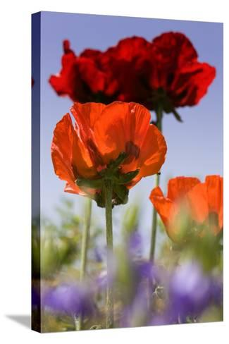 Oriental Poppy, Blossoms, Detail- Cisfo-Stretched Canvas Print