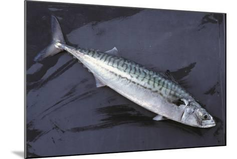 Mackerel, Scomber Scombrus, Dead, Catch-Newly, Animal-Carl-Werner Schmidt-Luchs-Mounted Photographic Print