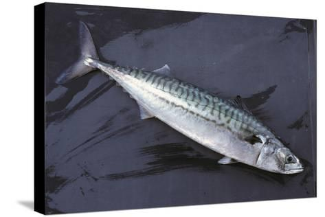 Mackerel, Scomber Scombrus, Dead, Catch-Newly, Animal-Carl-Werner Schmidt-Luchs-Stretched Canvas Print