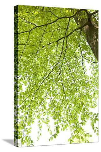 Tree, Forest, Leaves, Plants-Nora Frei-Stretched Canvas Print