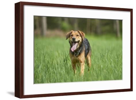 Mixed-Breed Dog, Meadow, Head-On, Is Running, Looking into Camera-David & Micha Sheldon-Framed Art Print
