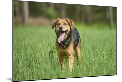 Mixed-Breed Dog, Meadow, Head-On, Is Running, Looking into Camera-David & Micha Sheldon-Mounted Photographic Print