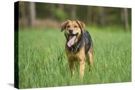 Mixed-Breed Dog, Meadow, Head-On, Is Running, Looking into Camera-David & Micha Sheldon-Stretched Canvas Print