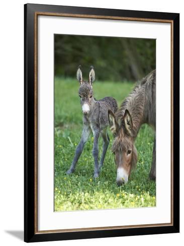 Domestic Ass, Equus Asinus Asinus, Mare, Foal, Meadow, Head-On, Is Standing, Looking into Camera-David & Micha Sheldon-Framed Art Print