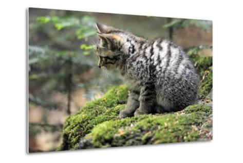 Wildcat, Felis Silvestris, Young Animal, Watchfulness-Ronald Wittek-Metal Print