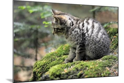 Wildcat, Felis Silvestris, Young Animal, Watchfulness-Ronald Wittek-Mounted Photographic Print