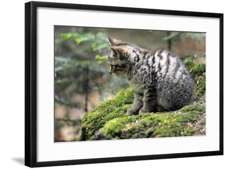 Wildcat, Felis Silvestris, Young Animal, Watchfulness-Ronald Wittek-Framed Art Print