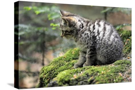 Wildcat, Felis Silvestris, Young Animal, Watchfulness-Ronald Wittek-Stretched Canvas Print